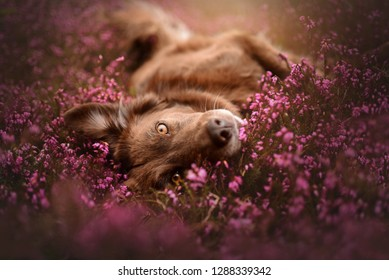 Dog in a field of flowers. Lying dog in flowers. Mixed breed in spring.