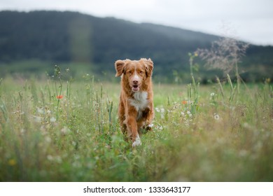 dog in the field in nature. pet in the spring for a walk, Nova Scotia Duck Tolling Retriever, Toller