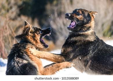 Dog fight. Aggressive german shepherd.