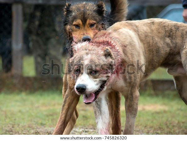 Dog Fights Fight Two Big Wolfhounds Stock Photo (Edit Now) 745826320