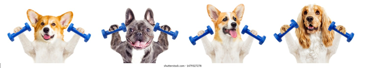 dog fitness training with dumbbells on a white background