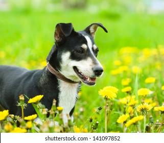 dog in flower field of yellow dandelions