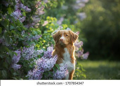 dog in flowers, lilac bushes. Portrait of a Nova Scotia Duck Tolling Retriever