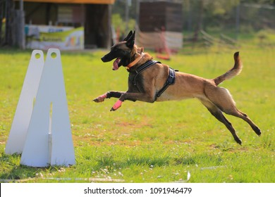 Dog flyball running
