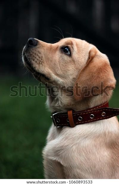 dog, folk, labrador