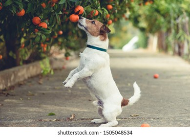 Dog fond of tangerines trying to steal low hanging fruit from tree branch
