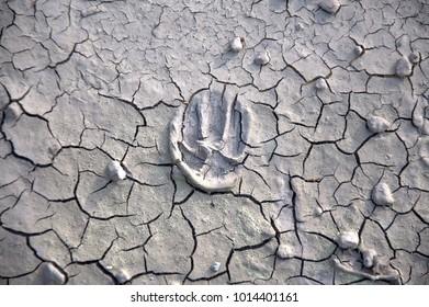 Dog footprint on dry mud