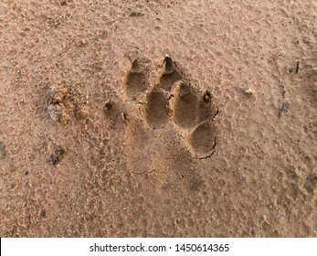 Dog footprint on soil background.Closeup of canine footprint on ground in the morning.Dog paw on earth.Animal paw on soil in farm.Traces of wild animals
