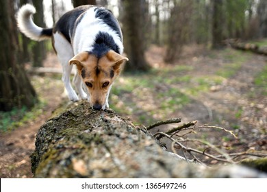 dog in the forest, fun olfactory, sniffing, sniffer dog