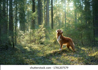 dog in forest on a log . red Nova Scotia Duck Tolling Retriever in nature. nature photo of pets
