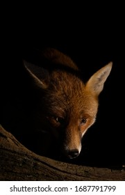 A dog fox lit by side flash at night in the garden