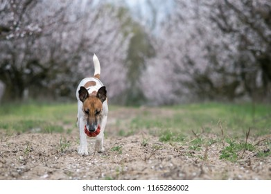 Dog fox terrier in the garden playing with a ball