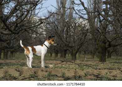 Dog fox terrier in the garden for a walk, outdoors