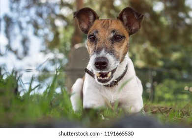 Dog fox terrier lies on a green glade