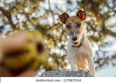 Dog fox terrier looking at the ball, playing outdoors