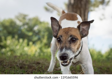 Dog fox terrier makes a jerk, the dog plays on a walk