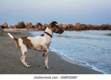 dog fox terrier on the beach looking at water