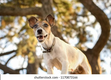 Dog fox terrier, photo from below, grin and interesting grimace