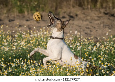 A dog fox terrier plays with a ball on a field of chamomiles