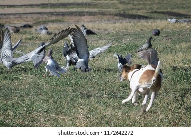 Dog fox terrier for a walk chases pigeons