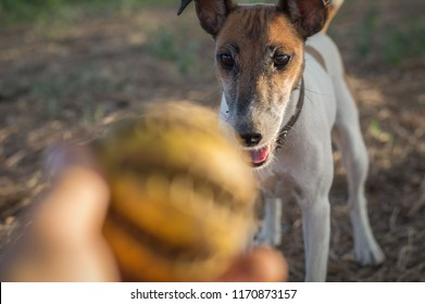 Dog fox terrier walk in the street, ball game