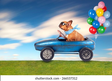 dog (French bulldog) driving a toy car with balloons , dog enjoys a a ride in his blue old car