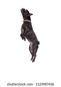 dog french bulldog jumping