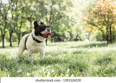 Dog French Bulldog in the public park