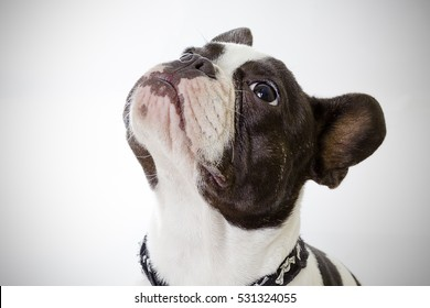 Dog, French Bulldog, Sitting. Photo taken in studio.
