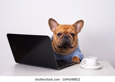 dog french bulldog works at a laptop