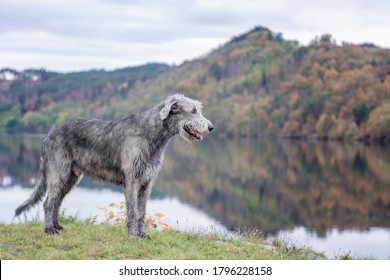 Dog friend man. A huge Irish wolfhound stands on the river bank with a blurred autumn background.