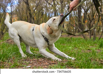 A dog friend with its owner, a naughty jaw pulls the leash.