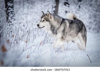 dog in frosty snow in winter, alaskan malamute