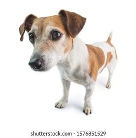 Dog full length stands on a white background. Looking left. attentive interested curious look