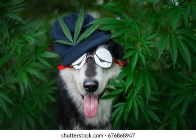 dog in funny glasses and hat in a bush of cannabis