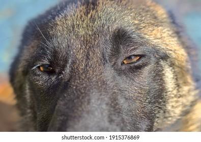 Dog gaze. Big brown eyes of a dog.