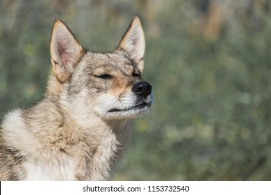 Dog from the genus of wolves enjoys the fresh air