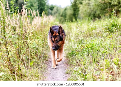 Dog German Shepherd in a field and yellow grass in an autumn day
