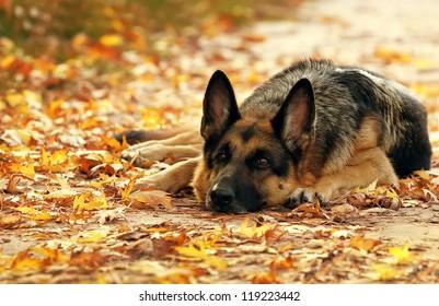 Dog, German shepherd lies in the autumn wood against beautiful yellow foliage