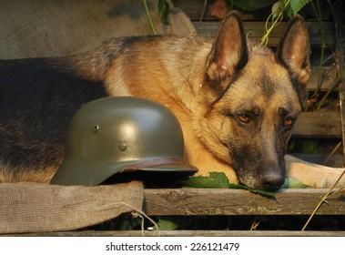 Dog, German shepherd lies near soldier's helmet
