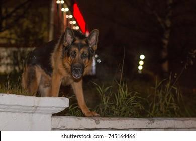 Dog german shepherd on the street in night city