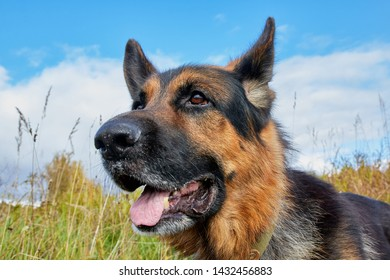 Dog German Shepherd outdoors in a field with yellow grass in an autumn day