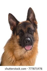 Dog German shepherd portrait head shot, Looking forward isolated on white background.