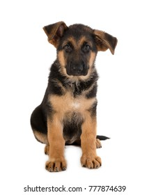 Dog German shepherd puppy portrait,  Looking at the camera isolated on white background.