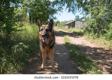 Dog german shepherd in village in summer day