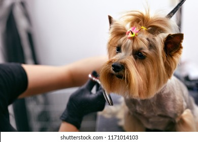 Dog Gets Hair Cut At Pet Spa Grooming Salon. Closeup Of Dog