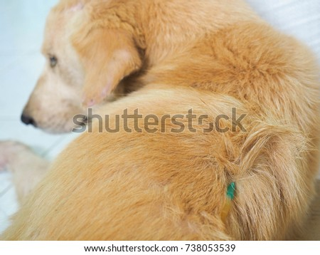 Dog Given Saline Saline Subcutaneously Dogs Stock Photo Edit Now
