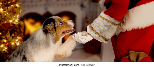 Dog gives Santa Claus his paw, sits in front of Christmas tree and open fireplace with fire. Santa Claus bends down to dog.