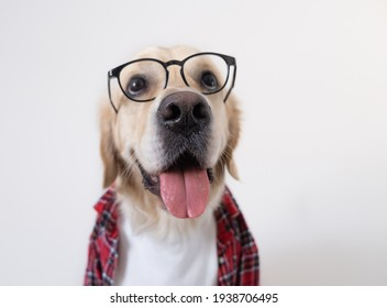 The dog in glasses and a red shirt sits on a white background. Golden Retriever dressed as a programmer or teacher.