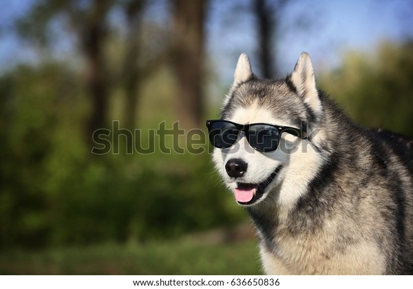 4cb62388689 Dog Glasses Siberian Husky Sunglasses Smiling Stock Photo (Edit Now ...